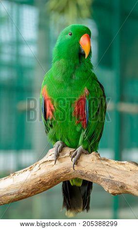 Abyssinian lovebird sitting on the treeGreen lovebird.