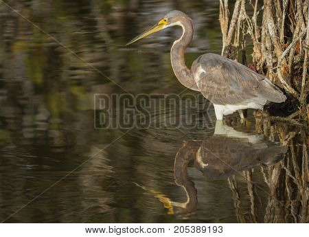 A Tricolored Heron (Egretta tricolor) and it's reflection wades in the shallow waters of a mangrove swamp.