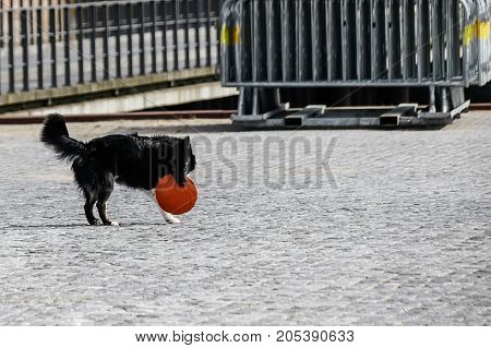 Black and white dog holds a red silicone flying saucer toy
