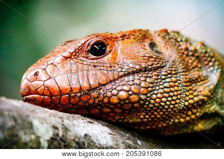 Caiman Lizard Profile