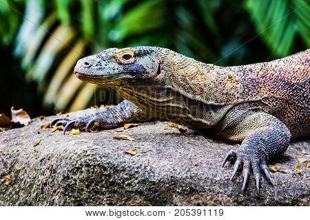 Komodo Dragon Juvenile