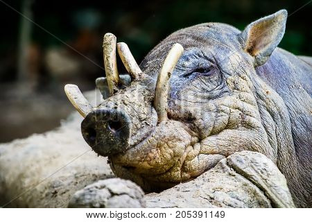 Sleepy Babirusa