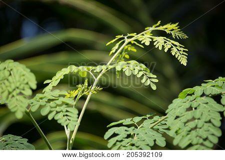 Horse Radish Tree