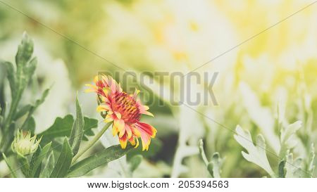 Flower (Zinnia Zinnia violacea Cav.) yellow pink orange and red color Naturally beautiful flowers in the garden