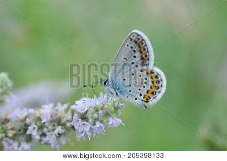 Silver-studded Blue butterfly on mint flower. Plebejus argus butterfly in nature
