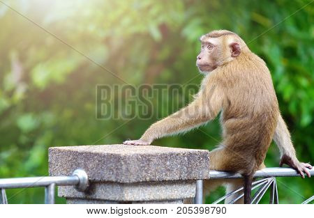 A brown monkey sitting on the steel rail in the park of Thailand. Looking to left side with free space for text or design