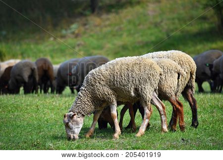 Herd of sheep on grazing in  nature.