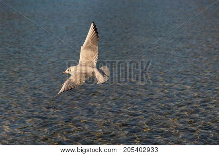 Close-up of a beautiful flying Seagull in the Morning Light. View on a flying Seabird with outspread Wings. Gulls at the Lake.   Nature and Wildlife Background