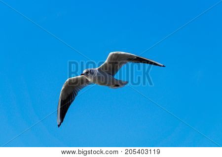 Close-up of a beautiful flying Seagull in front of a blue Sky. View on a flying Seabird with outspread Wings on a clear Sky. Nature and Wildlife Background