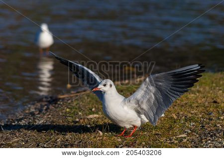 Close-up of a beautiful flying Seagull in front of a Lake. View on a beautiful Seabird with outspread Wings on a sunny Day. Gulls at the Lake.   Nature and Wildlife Background