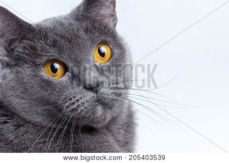 sits a British gray shorthair cat, cute, domestic, feline, fur,