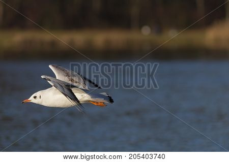 Close-up of a beautiful flying Seagull in front of a Forest. View on a flying Seabird with outspread Wings. Gulls at the Lake.   Nature and Wildlife Background