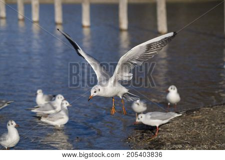 Close-up of a beautiful flying Seagull in front of a Lake. View on a flying Seabird with outspread Wings. Gulls at the Lake.   Nature and Wildlife Background