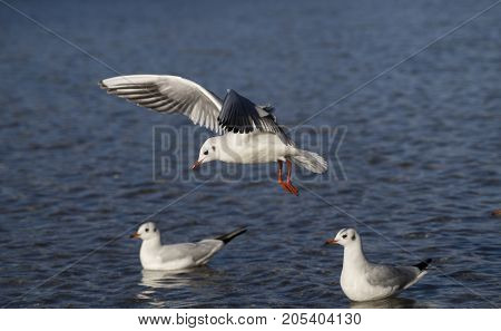 Close-up of a beautiful flying Seagull at the Lake. View on a flying Seabird with outspread Wings. Gulls at the Lake. Nature and Wildlife Background  Bird,air,animals,attack ,beak,beauty,birds,close-up,closeup,day,feathers,flight,flock,flying,group,gulls,