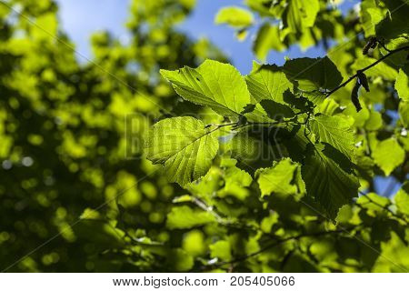 Hazel leaves in sunlit during the summer.