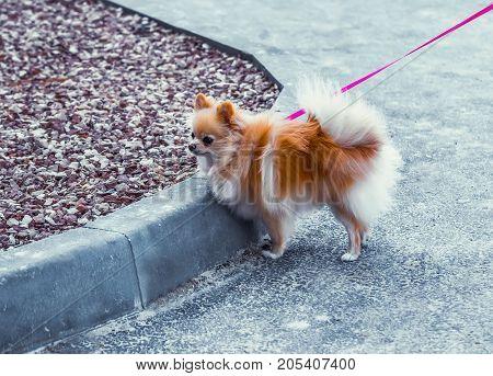Pomeranian dog on a walk. Small orange pomeranian spitz. Cute brown fluffy Pomeranian dog outdoor.
