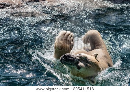 Asheboro North Carolina USA - September 20 2017: A polar bear flips backwards into the water as he swims his