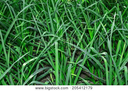 Green garlic texture spring garden green background