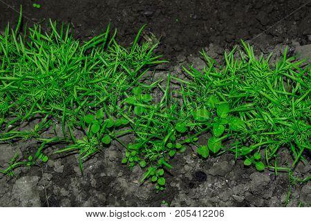 Dill on ground spring garden green background