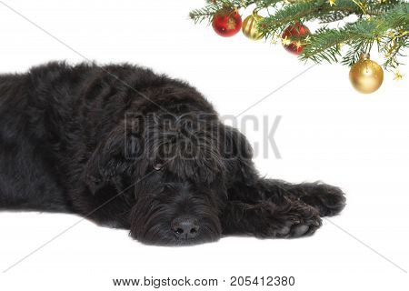Sad Giant Black Schnauzer Dog is lying under a branch of a Christmas tree