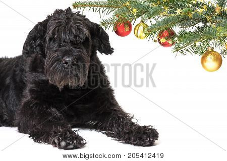 Giant Black Schnauzer Dog is lying with a raised head under a branch of a Christmas tree