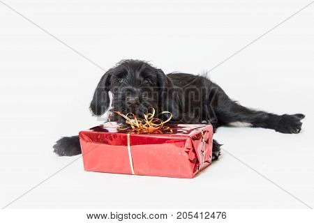 Cute puppy of Giant Black Schnauzer Dog in studio shot. Christmas gift in a red box is lying in front of him. The dog is looking at the camera.