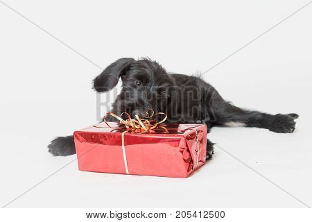 Studio shot of cute puppy of Giant Black Schnauzer Dog. Christmas gift in a red box is lying in front of him.