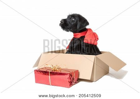 Cute puppy of Giant Black Schnauzer Dog is sitting in the paper box with a ribbon around his neck
