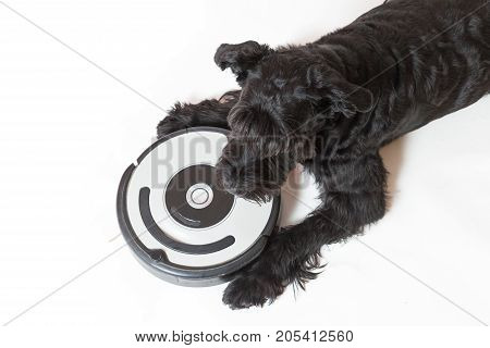 Studio shot top view of the Giant Black Schnauzer dog is lying next to the robotic vacuum cleaner. All potential trademarks and control buttons are removed.
