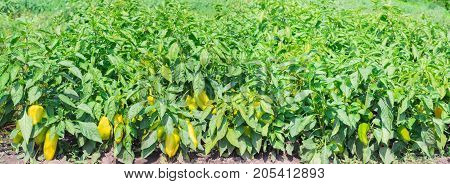 Panorama of a plantation of the ripening yellow bell pepper