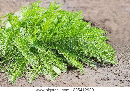 Yarrow bush with young leaves on a background of soil