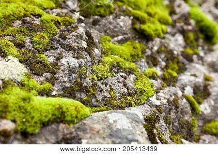 botany, nature, life cycle concept. macro photo of the cliff covered by bunch of fresh fuzzy and light green mosses that are growing in notches and cracks of its surface