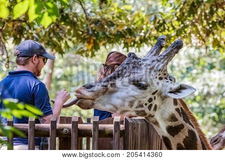 Asheboro North Carolina USA - September 20 2017: Zoo staff feed the giraffe (Giraffa) on the Acacia Station Giraffe Deck at the North Carolina Zoo.