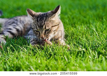 Cat playing with a mouse he just caught. Gray cat lying on green grass. Cat caught a mouse. Close-up.