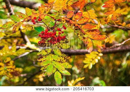 Branch of red mountain ash on a green background.