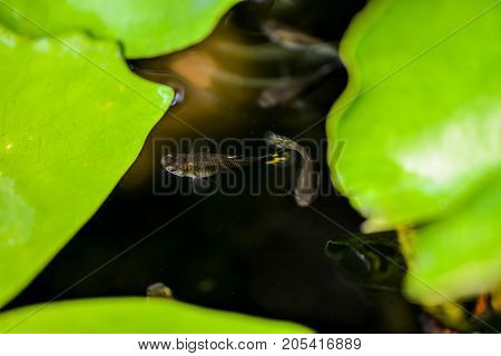 Guppy fish in the lotus pond - Close up