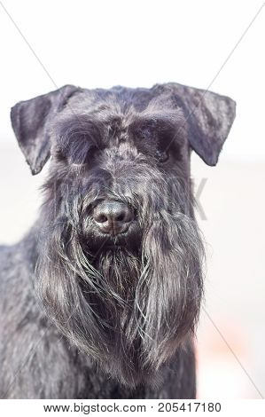 Focus on the nose of a dog Zwergschnauzer breed with black hair and uncut ears and tail. Close-up. Space under the text. 2018 year of the dog in the eastern calendar Concept: parodist dogs, dog friend of man, true friends, rescuers.