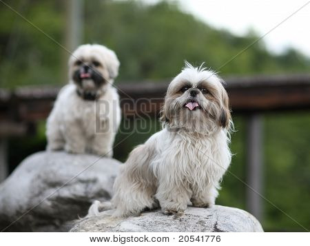 Cute Funny Shih Tzu Breed Dog Outdoors Barking