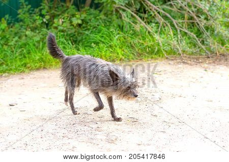 Chinese Crested dog stands on the road, the shining sun shines on the wool. The dog is small, active, elegant, very cheerful and has a strong attachment to its owner. Close-up. Concept: cute, home, friend, love, affection, kindness, care. Space under the