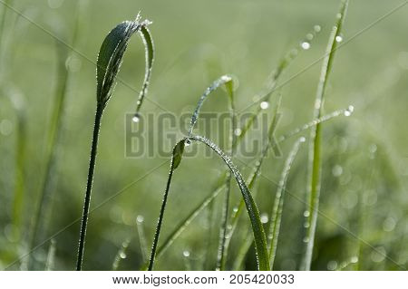 Dewy grass on the meadow with clear grass.