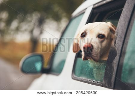 Dog (labrador retriever) looking out of a car window on a rainy day.