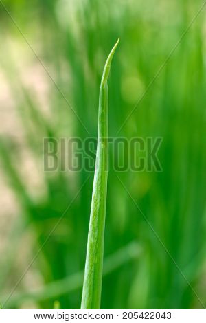 green onions in the garden . In the park in nature
