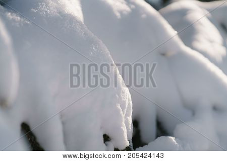 fir tree covered with snow in the morning, closeup photo