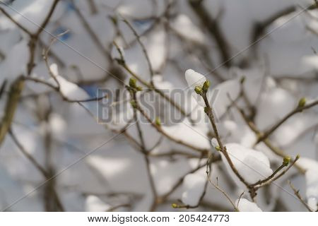 lilac branches covered with snow in morning, shallow focus