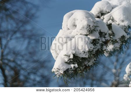 pine branch covered with fresh snow in the morning, shallow focus