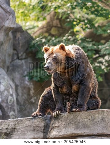 Asheboro North Carolina USA - September 20 2017: Grizzly bear (Ursus arctos) at the North Carolina Zoo sitting on a rock.