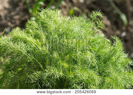 dill on nature . In the park in nature