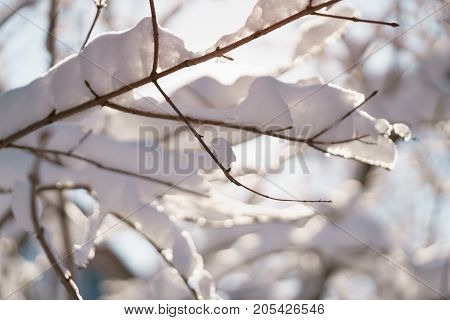 bush branches covered with snow in morning sunlight, shallow focus