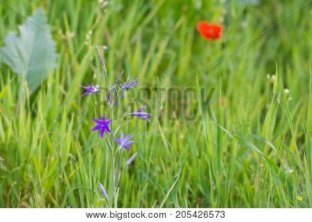 beautiful purple bell flowers in nature . In the park in nature
