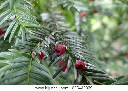 Red Fruit On A Yew Tree